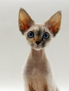 Top 10 Most Affectionate Cat Breeds - Annie Many #meow - Find out at - Catsincare.com!