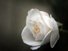 i think this is beautiful because the rich white color and the glow on the background. Roses are really special and beautiful in their own way. the rich smell brings the beauty along with the visual part. the whole picture itself is beauty, defines love as well.