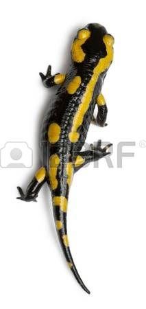 salamander%3A+Vuursalamander%2C+Salamandra+Salamandra%2C+in+de+voorkant+van+een+witte+achtergrond+Stockfoto