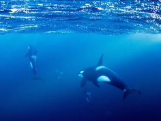 Snorkeling with orcas in Norway