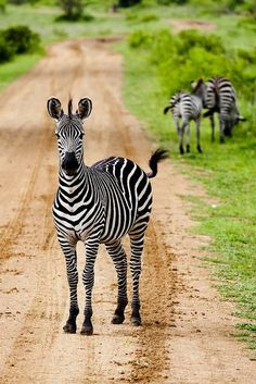 ~ Zebra by Great King Bowser ~