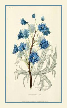 """Delphinium é um gênero de cerca de 300 espécies de plantas perenes com flores da família Ranunculaceae , nativas em todo o Hemisfério Norte e também nas altas montanhas da África tropical. http://sergiozeiger.tumblr.com/post/118020535833/delphinium-e-um-genero-de-cerca-de-300-especies-de Todos os membros do gênero são tóxicas para os seres humanos e animais. O nome comum """"espora"""" é compartilhado entre as espécies perenes e espécies anuais do gênero Consolida. O nome """"delphinium"""" deriva do…"""