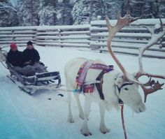 Reindeers are such beautiful creatures! Glide through snow-covered forests on a reindeer safari in Lapland