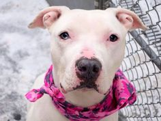 TO BE DESTROYED - 02/09/15 Manhattan Center   My name is KARIN. My Animal ID # is A1027191. I am a female white pit bull mix. The shelter thinks I am about 4 YEARS old.  I came in the shelter as a STRAY on 02/05/2015 from NY 10473, owner surrender reason stated was STRAY.