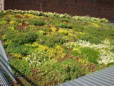 Roof top garden with sedum