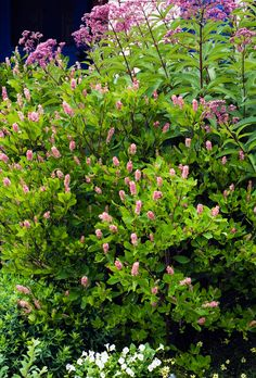 """Genus: C. alnifolia varieties Zones: 3 to 9 Cost: $10 to $25 Expert says: """"One plant will perfume a whole yard in August, so I have what my father jokingly called 'a plethora of clethora' next to the porch."""" —Barbara Damrosch   - CountryLiving.com"""