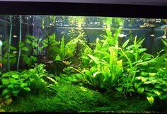 Planted Tank Nature Aquarium, Aquarium Ideas, Aquarium Design, Aquarium Decorations, Fish Tanks, Aquarium Fish Tank, Planted Aquarium, Red Fish Blue Fish, One Fish Two Fish