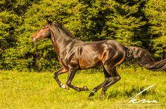 Waler Stallion Newhaven Snap