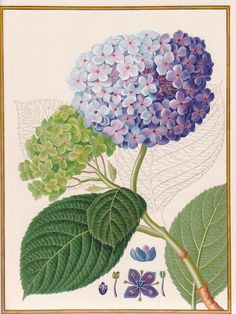 : Botanical Prints are so beautiful! Posters Vintage, Vintage Prints, Vintage Art, Botanical Flowers, Botanical Prints, Botanical Gardens, Art Floral, Hortensia Hydrangea, Hydrangeas