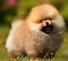 pomeranian sheepdog photo   Pomeranian Puppies Sold - 2 Years 9 Months, Pomeranian (Ball Style ...