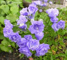 "It takes both its common and its scientific name from its bell-shaped flowers—campanula is Latin for ""little bell"". Description from imgarcade.com. I searched for this on bing.com/images"