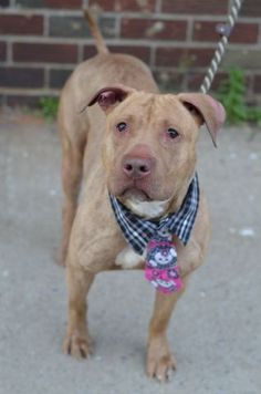 SAFE 8-30-2015 --- Brooklyn Center GRACE POTTER – A1037043 FEMALE, BR BRINDLE, AM PIT BULL TER, 2 yrs STRAY – STRAY WAIT, NO HOLD Reason STRAY Intake condition UNSPECIFIE Intake Date 05/21/2015