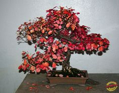 Bonsaï & Penjing - Wintercreeper euonymus - Euonymus fortunei - Celastraceae - donor Government of China - 40 years old