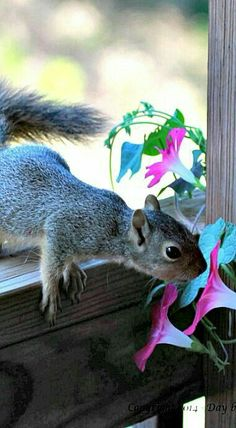 Squirrel Smelling a Flower. Animals And Pets, Baby Animals, Funny Animals, Cute Animals, Cute Squirrel, Baby Squirrel, Squirrels, Cute Animal Photos, Animal Pictures