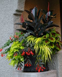 Easy To Grow Houseplants Clean the Air Fabulous Color Combo . Dark Ficus, Coleus, Sweet Potato, Jap Forrest Grass, Duo Begonia And Fuchia. L Pot Incorporated Container Flowers, Container Plants, Container Gardening, Succulent Containers, Rubber Plant, Pot Jardin, Small Space Gardening, Small Gardens, Shade Plants