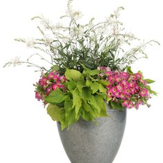 Proven Winners - Cloud Gazing combination container recipe containing Stratosphere™ White - Butterfly Flower - Gaura lindheimeri, Sweet Caroline Bewitched . Container Flowers, Container Plants, Container Gardening, Plant Containers, Butterfly Flowers, White Butterfly, Wholesale Plants, Painting The Roses Red, Garden Design Plans