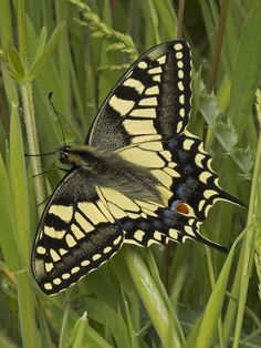 Swallowtail Butterfly by JaneTurner68