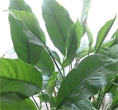 Plantas de interior eficazes na purificação do ar - Spathiphyllum Mauna Loa