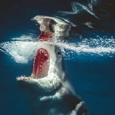 Shark Pictures, Shark Photos, The Great White, Great White Shark, Shark Bait, Megalodon, Ocean Creatures, Tier Fotos, Shark Week