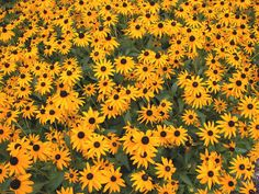 Black-eyed susan (Rudbeckia) is a vigorous perennial that blooms prolifically from late summer to frost. It tends to naturalize, and it also doesn't need much deadheading.