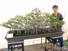 The Guangzhou International Bonsai Invitation Exhibition in November was the largest bonsai show in Guangzhou ever. In this bonsai show, 800 penjing were Bonsai Plants, Bonsai Garden, Bougainvillea Bonsai, Bonsai Ficus, Acer Palmatum, Terrariums, Pine Tree Art, Bonsai Forest, Bonsai Styles