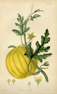 The flora homoeopathica ?or, illustrations and ...