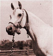 Fadl (Ibn Rabdan x Mahroussa) 1930-1955 Egyptian Arabian stallion that was the sole stallion imported from the desert by Henry Babson. All Babson horses to this day carry a considerable amount of his blood.  Full brother to Maaroufa.