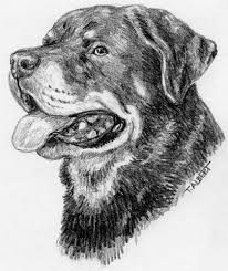 how to draw a rottweiler -