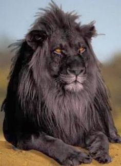 black lion , super rare