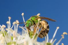 Metallic Green Bee by Monique van Someren on 500px