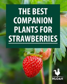 Companion Gardening The full lists of good AND bad companion plants for strawberries. Keep pests away so you can enjoy your strawberries! Strawberry Companion Plants, Strawberry Garden, Strawberry Plants, Strawberry Patch, Fruit Garden, Edible Garden, How To Plant Strawberries, Strawberry Beds, Gardening For Beginners