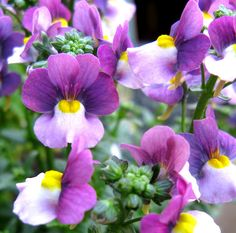 Nemesia flowers in purples and lavenders.