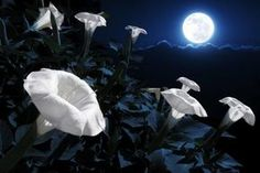 These are beautiful. Ignor the part about nighttime rituals... Plant a Magical Moon Garden: Plant a garden with night-blooming flowers.