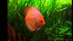 Hawajskie melodie. Discus Aquarium, Discus Fish, Pets, Music