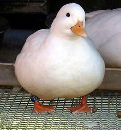 Dis fat ducky