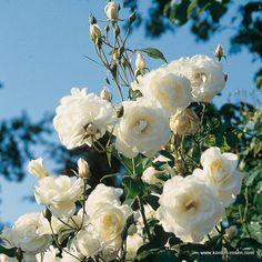 1000 images about enchanting roses on pinterest garden. Black Bedroom Furniture Sets. Home Design Ideas