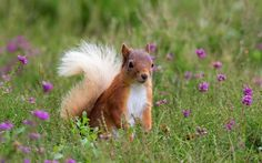 """A red squirrel playing in the summer heather - Scottish Highlands Scotland People, Red Squirrel, Wildlife Park, Scottish Highlands, Fur Babies, Flora, Squirrels, Whisky, Drink"