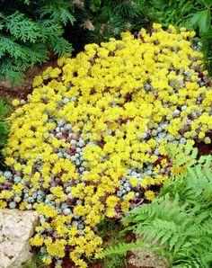 Spoon-leaved Stonecrop 'Cape Blanco' • Sedum spathulifolium 'Cape Blanco' • Broadleaf Stonecrop 'Cape Blanco' • Broad-leaved stonecrop 'Cape Blanco' • Plants & Flowers • 99Roots.com