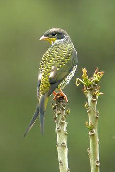 Swallow-tailed Cotinga