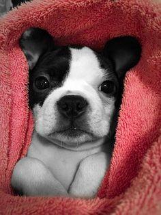 Lil Boston Terrier Wrapped in a Pink Blanket! Such a Cutie! ► http://www.bterrier.com/?p=28916 - https://www.facebook.com/bterrierdogs