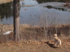 Our dog, Maximus, watching the returning ducks to the beaver pond in the spring.
