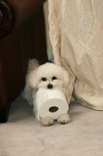 Oh my gosh! You have to keep toilet paper and wastebaskets away from Bichons. I have a picture of Sam, where he shredded a bunch of toilet paper. It was everywhere in my bedroom. I went to get my camera as he ran out of the room. By the time I had my camera, he was back in the room, picked up a piece of toilet paper and stood there with it in his mouth!