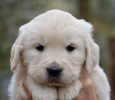 English Cream Golden Retriever pup!!!!
