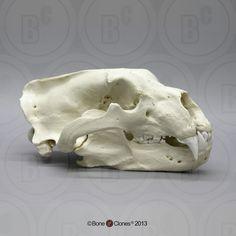 Polar Bear Skull Replica from Bone Clones.