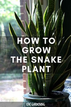 """Plant Care – Growing The """"Mother In Law's Tongue"""" Snake Plant (Mother In Law's Tongue) -- Eesh! Let's go with """"snake plant!""""Snake Plant (Mother In Law's Tongue) -- Eesh! Let's go with """"snake plant! Mother In Law Plant, Mother In Law Tongue, Succulents Garden, Garden Plants, Planting Flowers, Garden Hose, Flowering Plants, Herb Garden, Easy House Plants"""