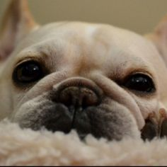 Frenchie baby! I never get tired of looking at these faces!