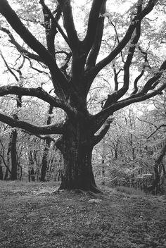 mäktigt träd