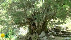 Route of the ancient yew trees in Rascafría. Valley of Lozoya. Madrid. Spain