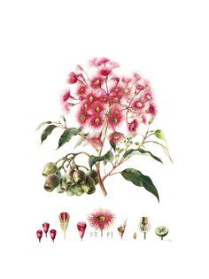 jenny phillips Corymbia Ficifolia. (Red flowering gum) W:380 mm X H:508 mm http://www.jennyphillips.org/ Botanical Art School of Melbourne