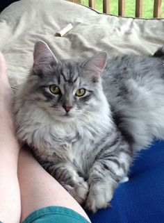 Silver tabby Maine Coon                                                                                                                                                      More